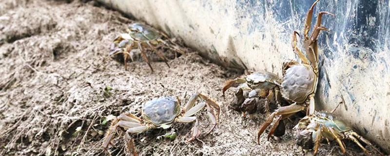 被大闸蟹蟹钳夹到手指了怎么办