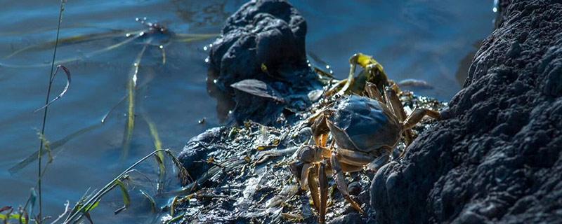 大闸蟹无水能活多长时间