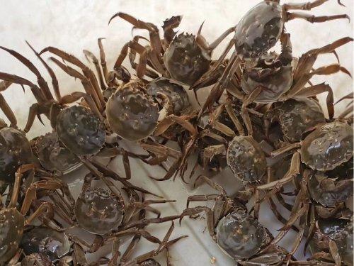 固城湖大闸蟹多少钱一斤?