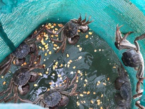 大闸蟹吃什么食物好养活