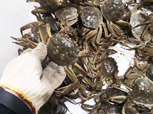 如何判断大闸蟹是假死