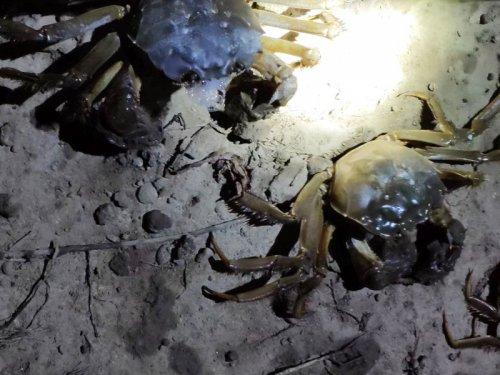 大闸蟹属于野生动物吗