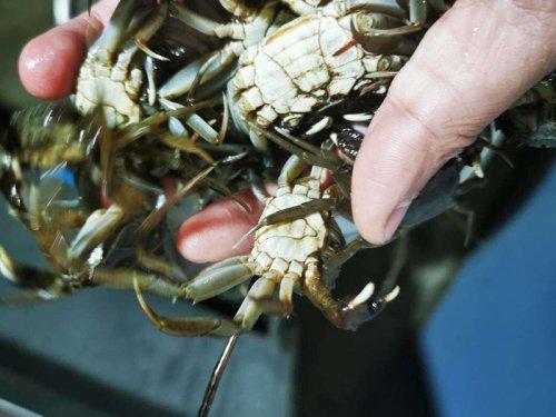 大闸蟹是养的还是野生的