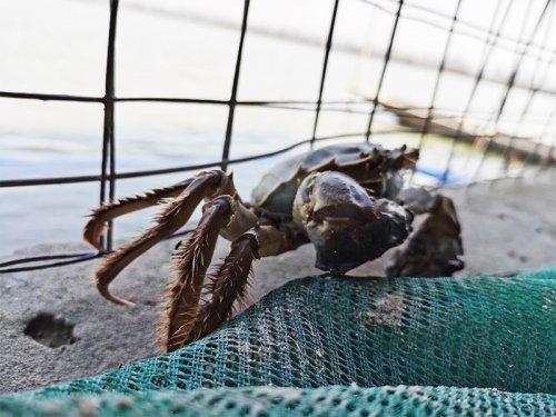 大闸蟹是淡水还是海水