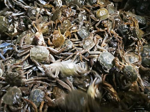 螃蟹幼苗吃什么