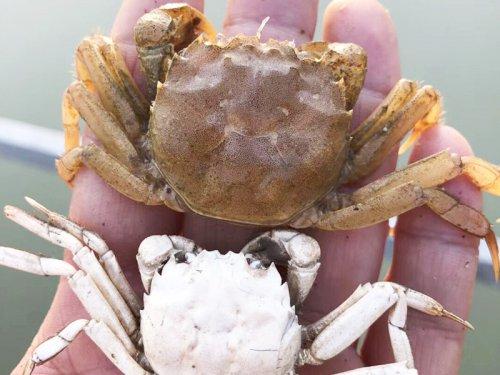 软壳蟹能吃吗