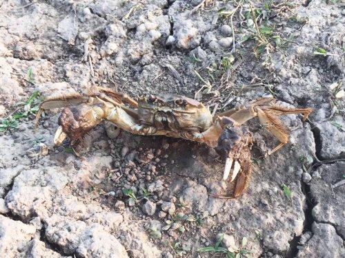 死了的大闸蟹蟹腿能吃吗