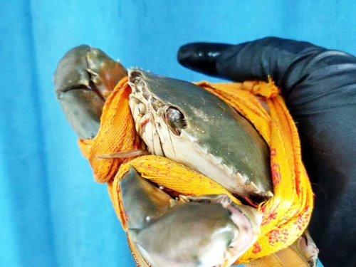 肉蟹和大闸蟹的区别
