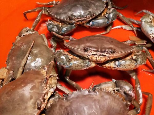 青蟹是河蟹还是海蟹