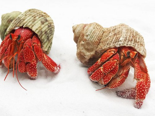 寄居蟹吃什么