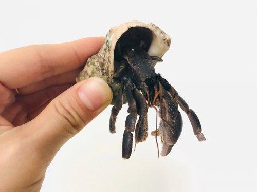 寄居蟹是蟹吗