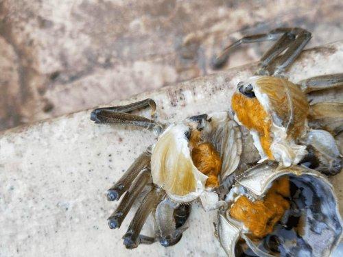 河蟹水瘪子病能治好吗