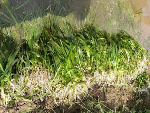 大闸蟹养殖栽什么水草