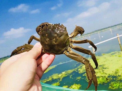 淡水蟹有哪些品种
