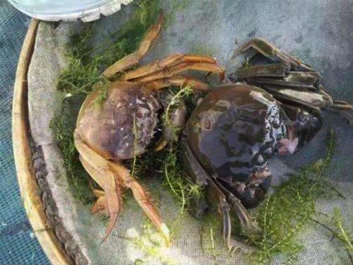 大闸蟹蜕壳后多久变硬