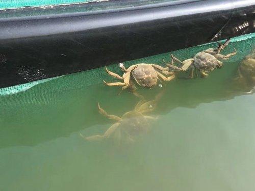 河蟹养殖后期蟹壳为何会变黑
