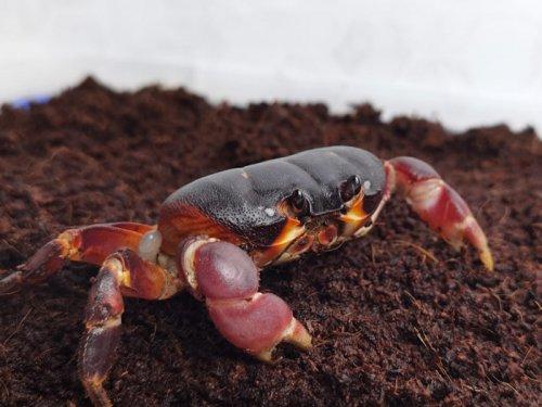灵芝蟹是什么蟹