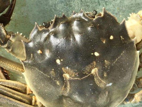 中华绒螯蟹的寿命有多长