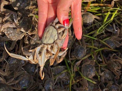 懒蟹是什么蟹