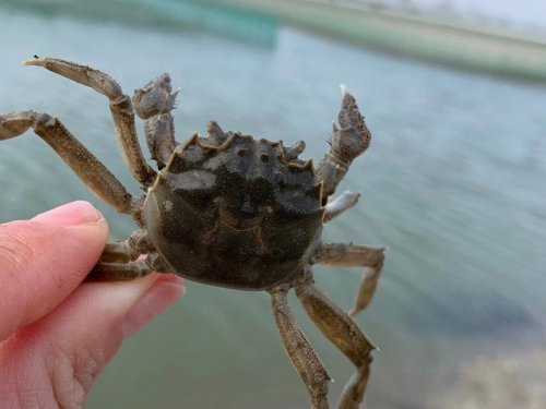 次蟹是什么意思