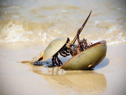 马蹄蟹是保护动物吗